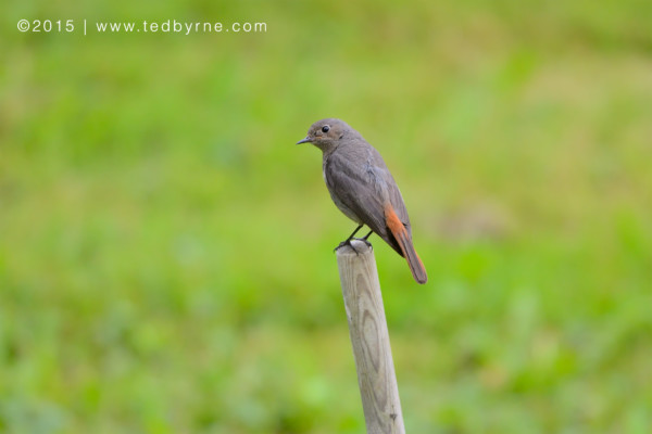 Common Redstart – Le Pâquier, Neuchâtel, Switzerland