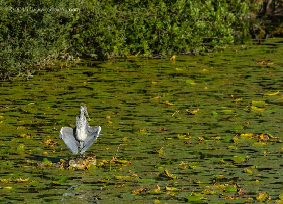 Heron drying it wings – Vieille Thielle, Neuchâtel, Switzerland