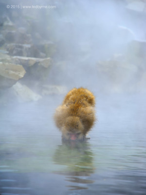 Snow Monkey at hot springs – Jigokudani, Nagano, Japan