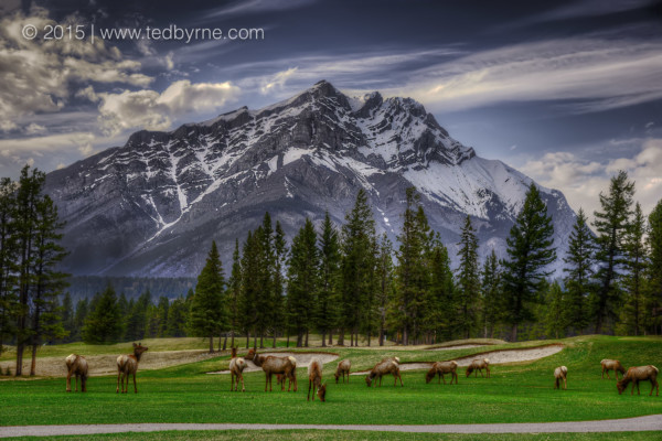 Grazing Elk on Golf Course - Banff, Canada