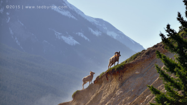 Climbing Bighorn Sheep - Banff, Alberta, Canada
