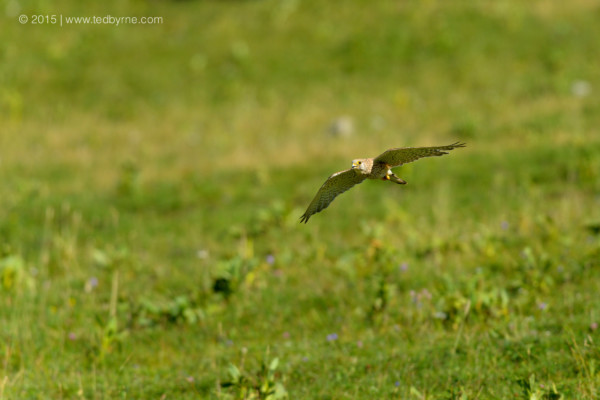 Common kestrel –  Chasseral Reserve, Neuchâtel, Switzerland