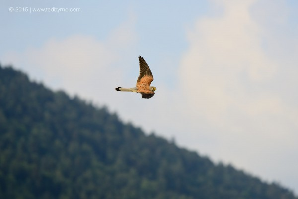Common kestrel –  Le Pâquier, Neuchâtel, Switzerland
