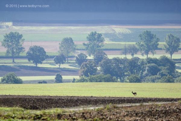 Deer sprinting across a country field