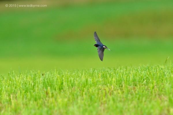 Swallow – Le Pâquier, Neuchâtel, Switzerland