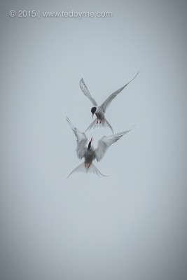 Arctic Terns in Aerial Duel – Alaska, USA