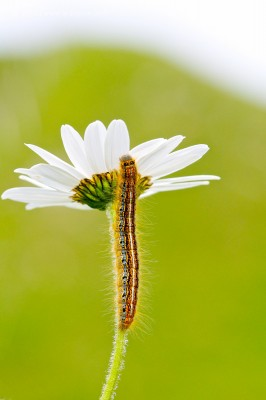 Climbing Caterpillar – Rocher-de-Naye, Vaud, Switzerland