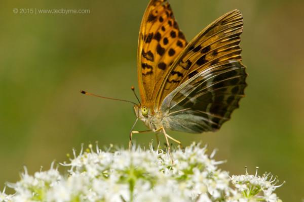 Butterfly – Le Pâquier, Neuchâtel, Switzerland