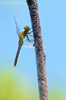 Dragonfly – Yverdon, Vaud, Switzerland