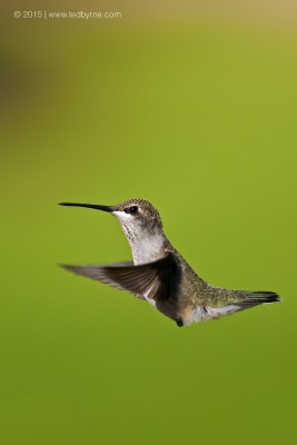 Black-chinned Hummingbird – New Mexico, USA