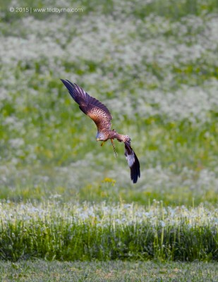 Diving Hawk – Le Pâquier, Neuchâtel, Switzerland