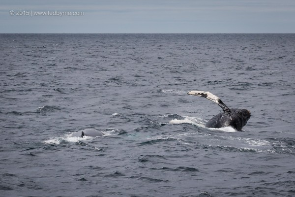 Humpback calf playing with mama - Witless Bay, Newfoundland, Canada