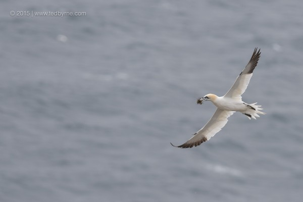 Northern Gannet – Cape St. Mary's Reserve, Newfoundland, Canada