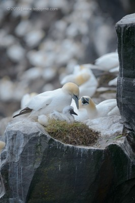 Northern Gannets – Cape St. Mary's Reserve, Newfoundland, Canada