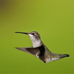 Black-chinned Hummingbird – New Mexico, USA